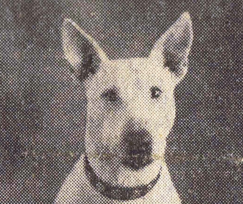 Peggy the Bull Terrier was adopted by Scottish soldiers during the Second World War and boosted their morale. (Picture: Gordon Highlanders Museum)