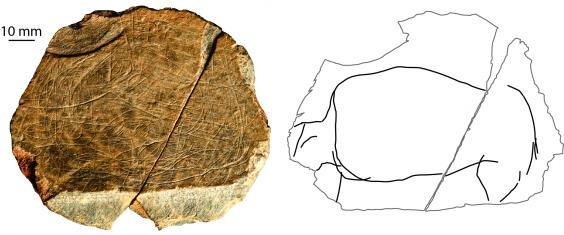 A depiction of a wild-cow-type animal, found at the Jersey site. Around 13,000-13,500 BC. The photograph shows the 9cm diameter stone plaque – and the many lines/images engraved on it. The drawing simply isolates the depiction of the animal, so that one can see it as an individual creature (S Bello/Natural History Museum)