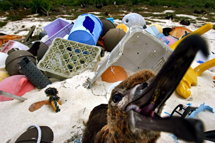 Albatrosses have become a bellweather species for the plastic pollution problem, ingesting the material and dying en masse. (Photo: Rick Loomis via Getty Images)