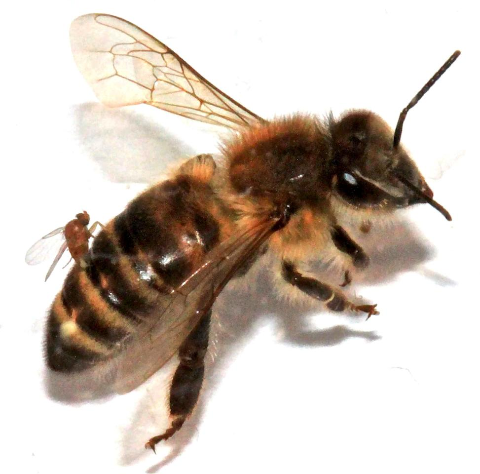In this photo provided by San Francisco State University, an Apocephalus borealis fly implants its eggs into the abdomen of a honey bee. The A. borealis fly is suspected of contributing to the decrease in the honey bee population. Researchers say the fly deposits its eggs in the abdomen of honey bees and as the larvae grow within the body of the bee, the bee begins to lose control of its ability to think and walk, flying blindly toward light. It eventually dies and the fly larvae emerge. (AP Photo/Christopher Quock, San Francisco State University)