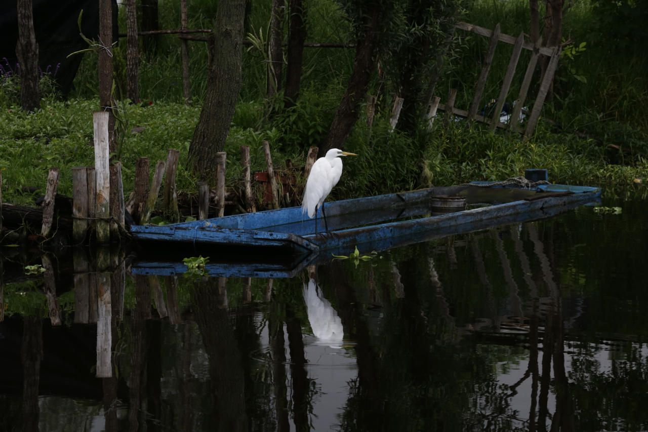 "In this July 13, 2017 photo, a heron perches on a boat tied to a floating farm known as a ""chinampa"" in Xochimilco, Mexico City. Xochimilco, on the far southern edge of Mexico City, is best-known as the ""Mexican Venice"" for its canals and brightly colored boats where locals and tourists can while away a weekend day listening to mariachi music and sipping cold beers. (AP Photo / Marco Ugarte)"