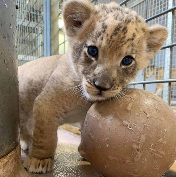 PHOTO: The Denver Zoo's new male lion cub plays with a ball inside his den. The cub has yet to be named, but visitors to the zoo can vote for their favorite name by donating money to the exhibit. (Courtesy Denver Zoo)