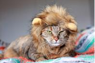 """<p>This is definitely a <a href=""""https://www.womansday.com/life/pet-care/g28482194/long-haired-cats/"""" rel=""""nofollow noopener"""" target=""""_blank"""" data-ylk=""""slk:very tiny lion"""" class=""""link rapid-noclick-resp"""">very tiny lion</a>. Not a cat. Sorry. </p>"""