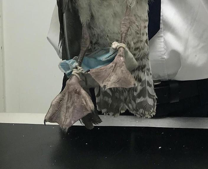 One seagull was found in Chelmsford, Essex with a face mask wrapped around its feet. (RSPCA)