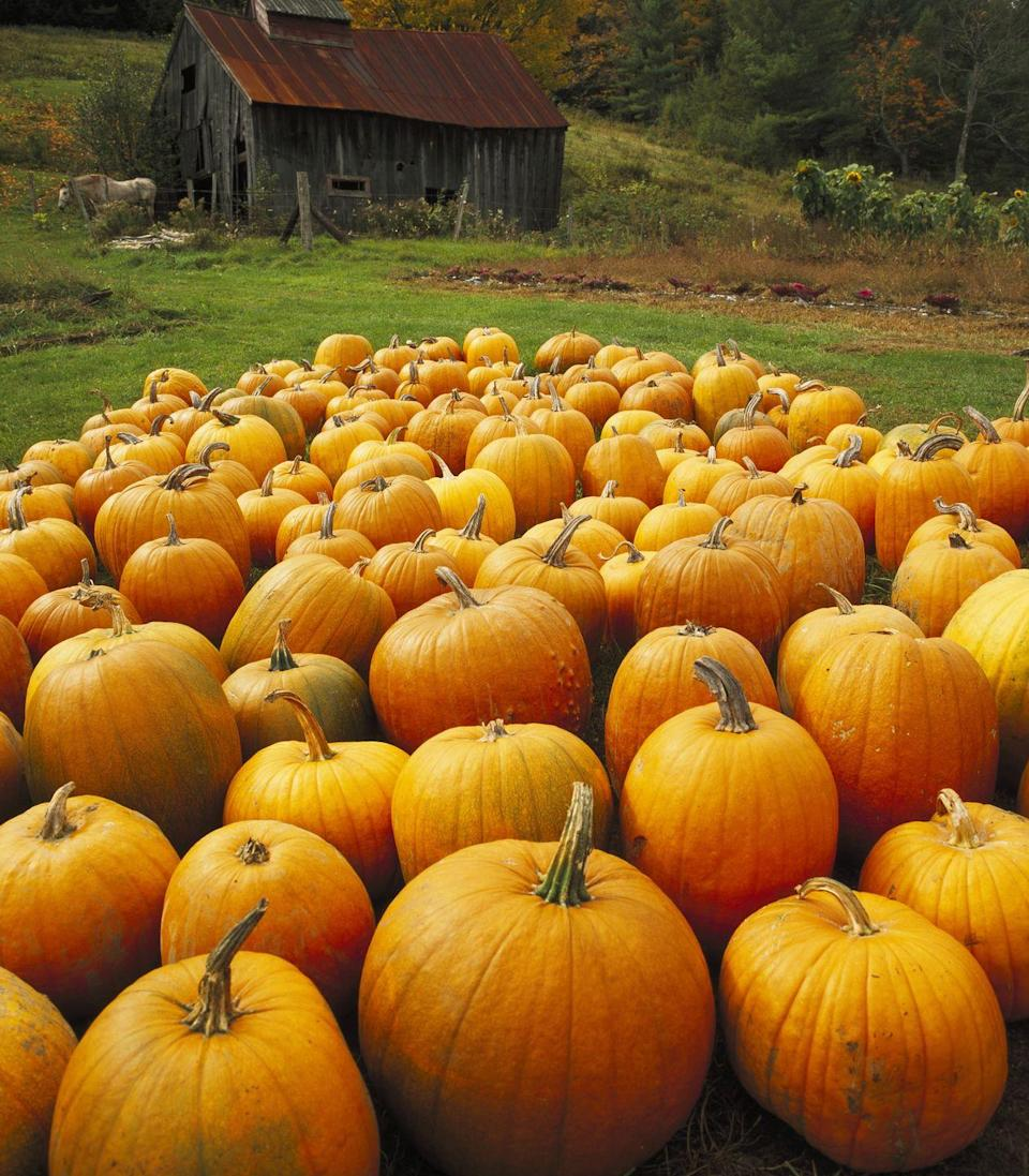 """<p>Believe it or not, pumpkins have names and none is more iconic than the Howden pumpkin, Developed in the '60s, the variety is known for its large size, handle-like stem, and bright orange color, <a href=""""http://www.npr.org/sections/thesalt/2015/10/30/452856477/are-we-wasting-millions-of-jack-o-lanterns-that-we-could-be-eating"""" rel=""""nofollow noopener"""" target=""""_blank"""" data-ylk=""""slk:according to NPR"""" class=""""link rapid-noclick-resp"""">according to NPR</a>. </p>"""
