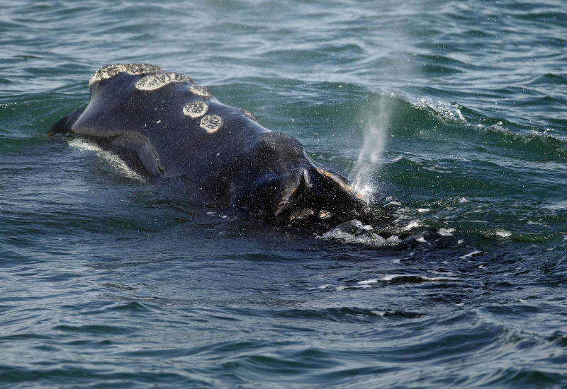 FILE - In this March 28, 2018 file photo, a North Atlantic right whale feeds on the surface of Cape Cod bay off the coast of Plymouth, Mass. The developer of a wind farm off Massachusetts is taking steps to protect the endangered North Atlantic right whale. Vineyard Wind announced Tuesday, May 21, 2019,  it's seeking proposals for an acoustic monitoring system to detect and track right whales. The company says the system will help ensure speed restrictions and other marine safety protections are followed. It's also expected to benefit whale researchers and others. (AP Photo/Michael Dwyer, File)