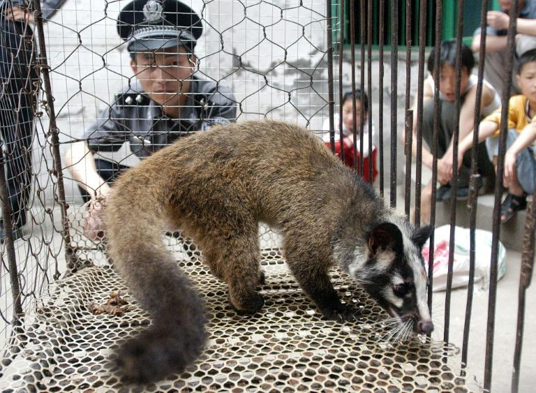 A policeman watching over a civet captured by a farmer in Wuhan, in central China's Hubei province