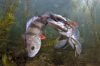 <p>Viktor Vrbovsky of the Czech Republic happened to catch a pike trying to eat a perch on camera and won 3rd Place in the contest's Wildlife category for the shot of the two fish. </p>