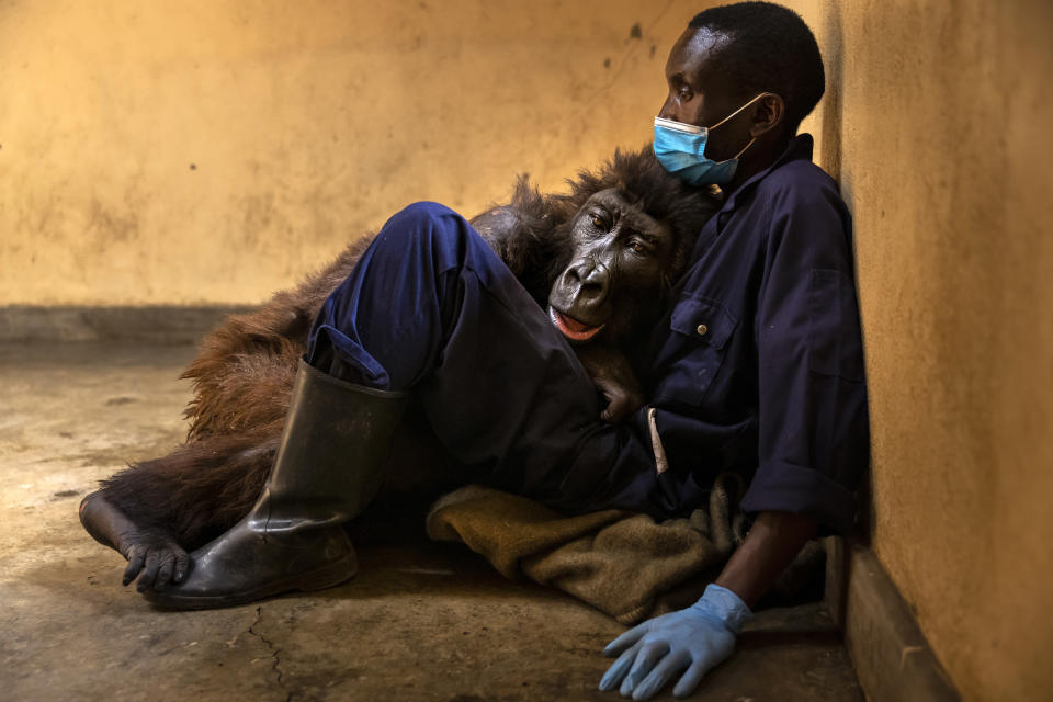 RUMANGABO, VIRUNGA NATIONAL PARK, DEMOCRATIC REPUBLIC OF THE CONGO - SEPTEMBER 21: Orphaned mountain gorilla, Ndakasi, lies in the arms of her caregiver, Andre Bauma, before dying days later on September 26 after a prolonged illness. Mr Bauma and others at the Senkwekwe Mountain Gorilla Center had cared for Ndakasi and other orphans for 13 years. This is the only mountain gorilla orphanage in the world and takes in mountain gorilla orphans who have lost their families to poaching or conflict. A number of the orphans here were rescued from sales by poachers in sting operations carried out by Congolese National Park Authority (ICCN) rangers. (Photo by Brent Stirton/Getty Images)