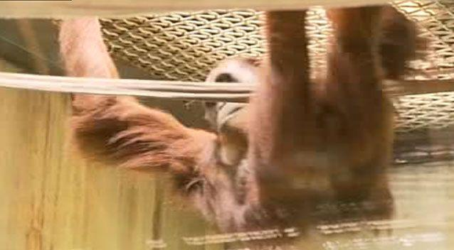 The orangutan enjoys learning with the new technology. Picture: 7 News