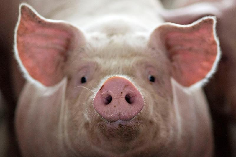 Scientists Mix Pig and Human Genes to Create Hybrid 'Skin' That Can Help Burn Survivors