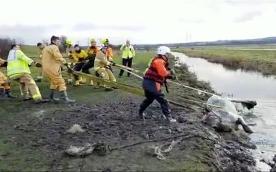 A horse, Adie, being pulled from a lake - RSPCA