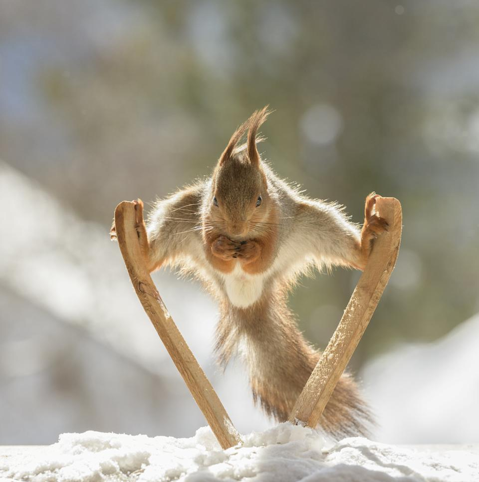 These hilarious photos show squirrels making the most of the winter weather - as they pose on miniature wooden SKIS and toy snowmobiles. The clever little red squirrels look like they are having a great time frolicking around in the snow and enjoying a winter holiday, as they appear to hover mid-air on their wooden skis and tiny toy vehicles. And the animals are rewarded for their sporting endeavours with snacks - as photographer Geert Weggen hides nuts on or nearby all of his props to encourage the squirrels to be part of the festive scene.