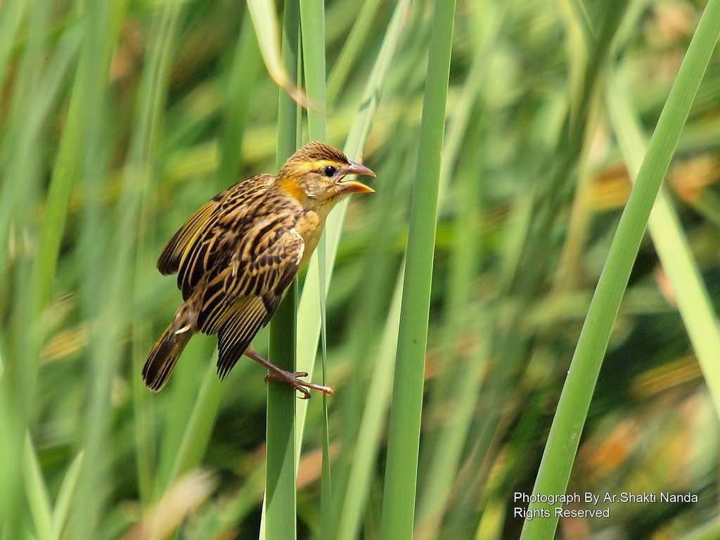 The female <strong>Streaked Weaver</strong> (<em>Ploceus manyar</em>) might look drab but she is a cautious and highly choosy bride. The brightly coloured male lavishes all his attention on her.