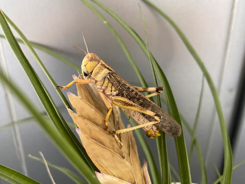 An adult male of the locust species Locusta migratoria is seen in a laboratory setting in Beijing