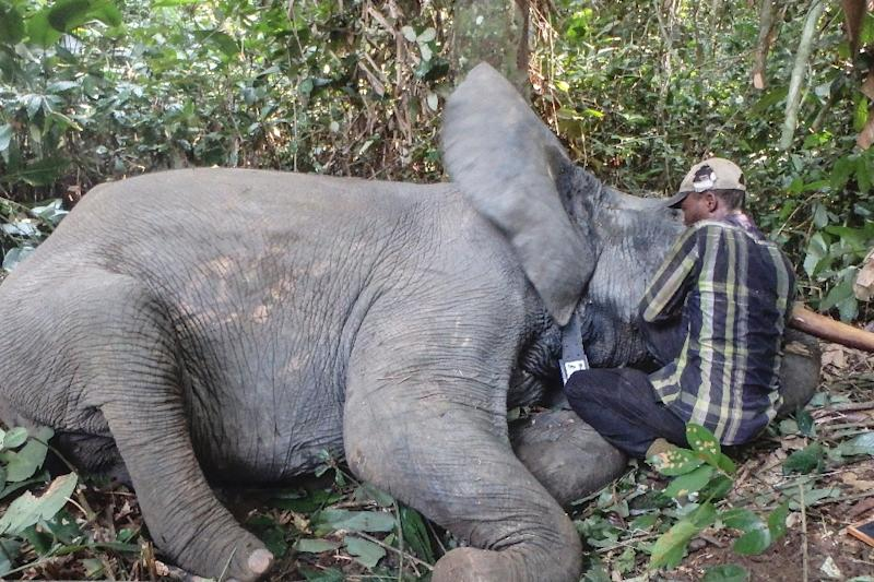 Gabon boasted 45,000 elephants a decade ago, the biggest forest population in central Africa but has since lost 15,000 to poaching (AFP Photo/STRINGER)