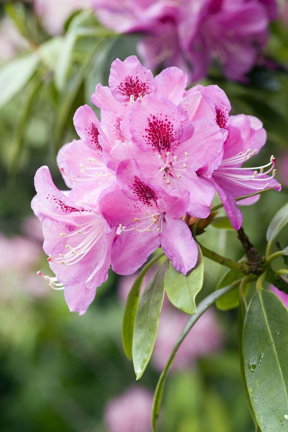 """<p>The Victorians labeled this flower """"beware,"""" — which is actually appropriate since they're quite poisonous. If you don't plan to eat them, they make a beautiful addition to your landscaping. </p>"""