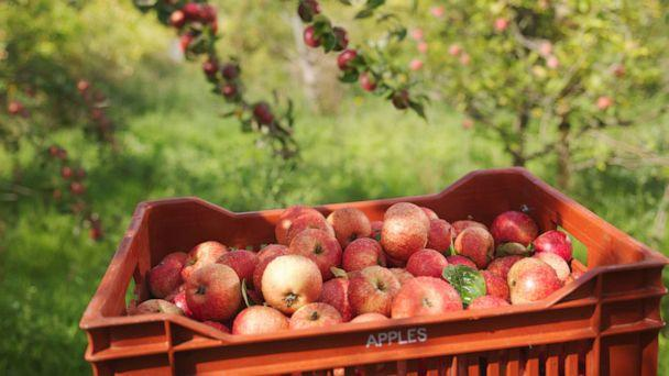 PHOTO: In this undated file photo, a crate of apples is shown in an orchard. (Monty Rakusen/Getty Images, FILE)