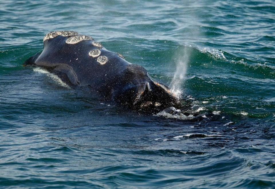 The North Atlantic Right Whale Consortium estimates the population at just 356 whales (AP)