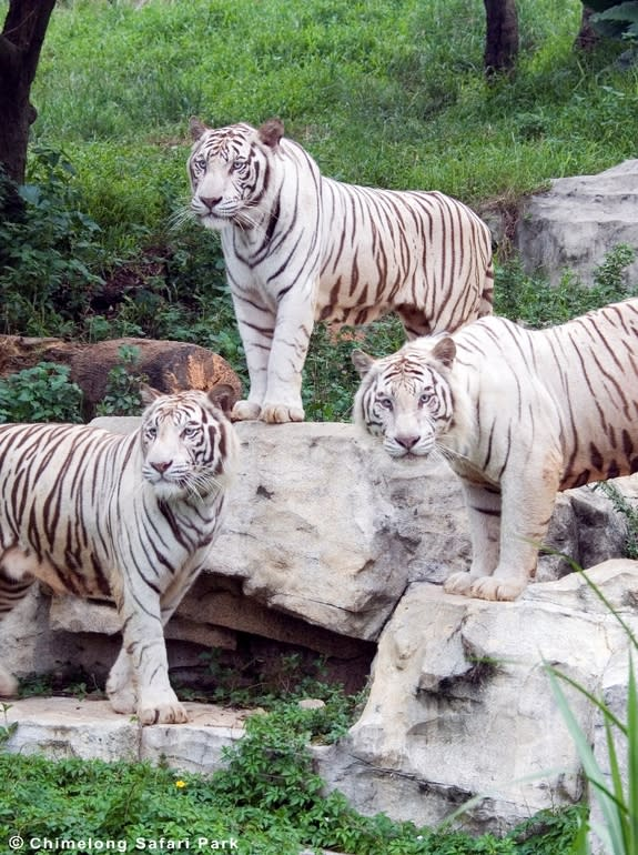 How the White Tiger Got His Coat