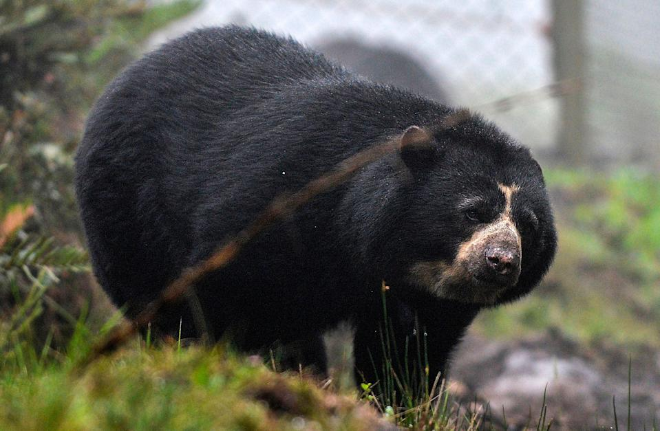 Andean bears are among the wildlife already under threat in Ecuador (AFP via Getty Images)