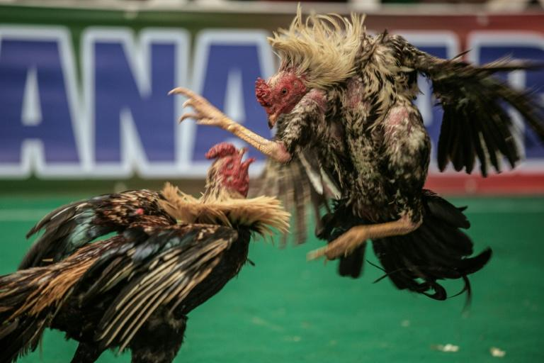 Two competing roosters rear up to face each other in the heart of a rowdy Madagascan arena before bursting forward in attack