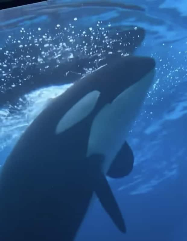A video of Kiska the orca at Marineland uploaded on July 16 has sparked concerns about the animal's health. (Submitted by Phil Demers - image credit)