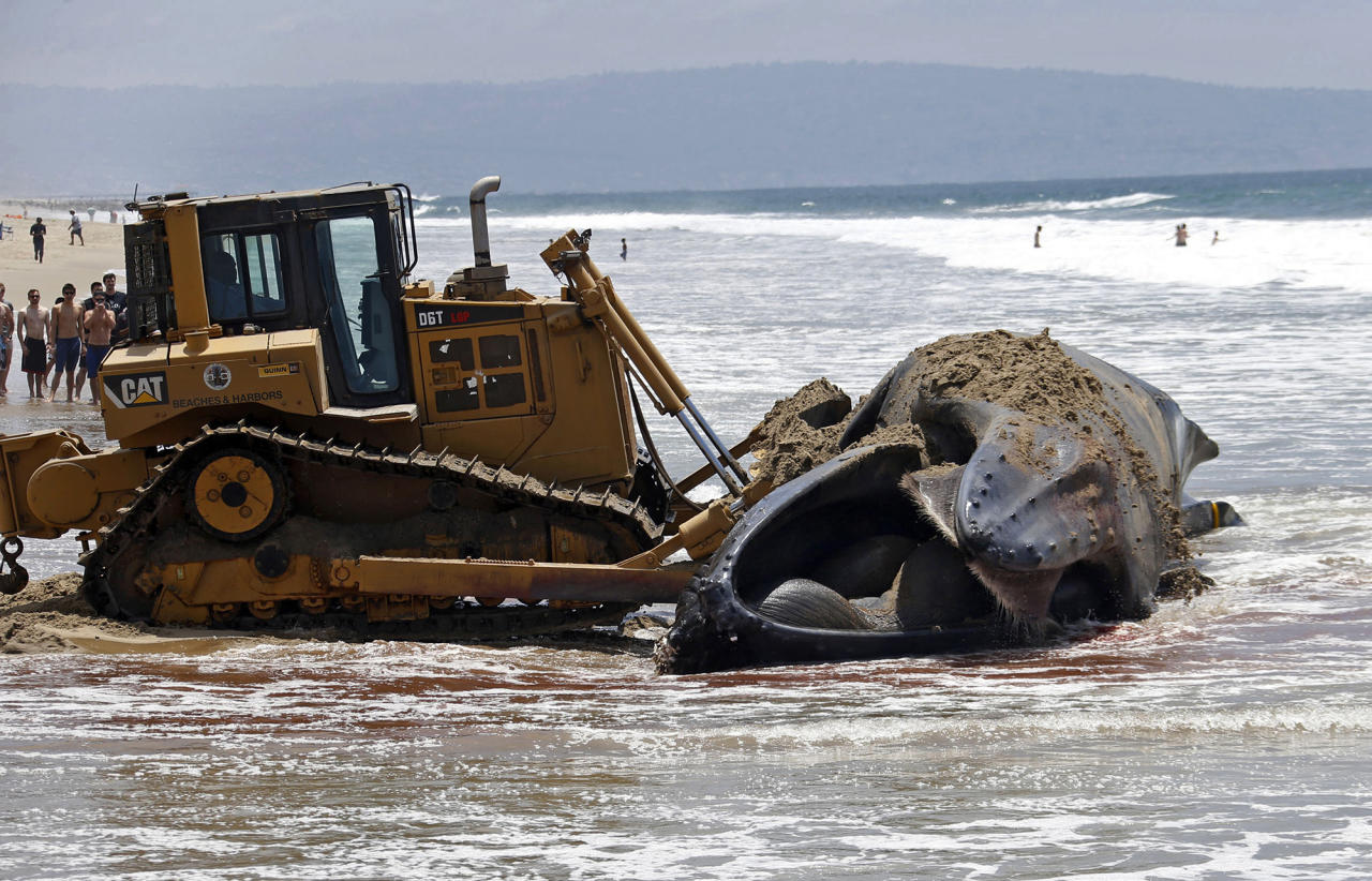 <p>A bulldozer pushes a dead humpback whale that washed ashore at Dockweiler Beach back into the ocean along the Los Angeles coastline on Friday, July 1, 2016. The whale floated in Thursday evening. It is approximately 40 feet long and is believed to have been between 10 to 30 years old. Marine animal authorities will try to determine why the animal died. (AP Photo/Nick Ut) </p>