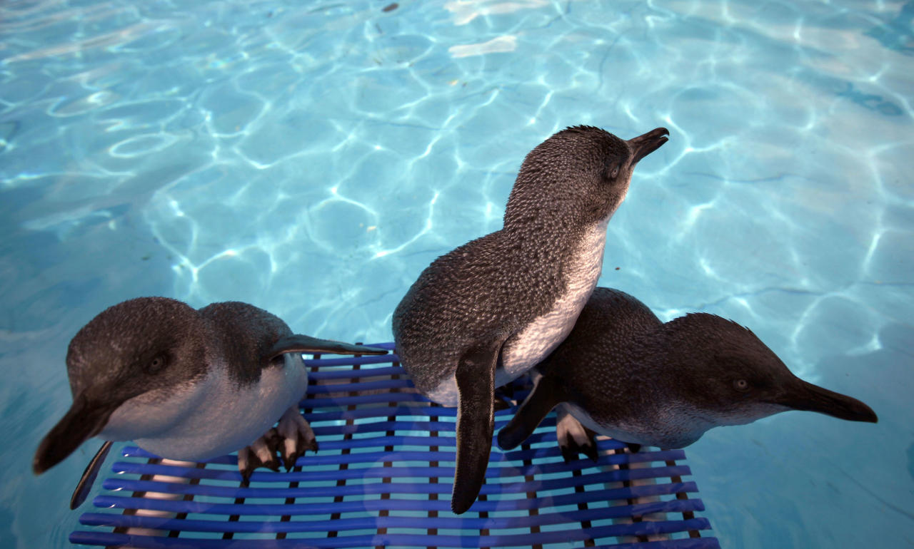 Three little blue penguins stand by a water pool during a cleaning session to get rid of fuel oil from their bodies at the wildlife facility in Tauranga, New Zealand, Friday, Oct. 14, 2011. The penguins were rescued from the sea polluted by oil leaked from the Liberia-flagged container ship Rena that has already spilled hundreds of tons of oil  since it ran aground Oct. 5 on Astrolabe Reef, 14 miles (22 kilometers) from Tauranga Harbour on New Zealand's North Island. (AP Photo/Natacha Pisarenko)