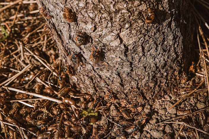 <p>Brood X cicadas are seen emerging from the ground and climbing a tree in Kettering, Ohio</p>