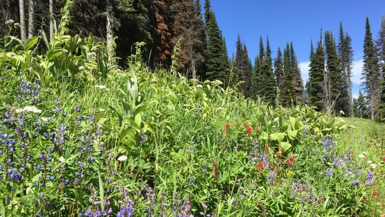 Waterton wildflowers will bloom again following wildfire, says former park biologist