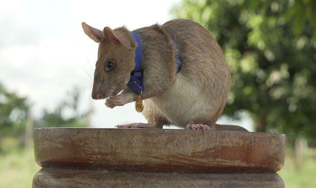 Rat given gold medal for 'lifesaving bravery and devotion to duty'