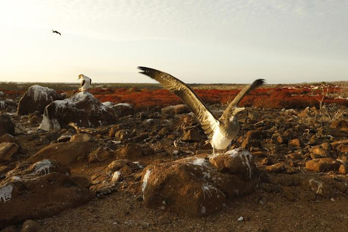 A juvenile blue-footed booby practices flapping his wings before beginning to fly on North Seymour Island in the Galapagos.