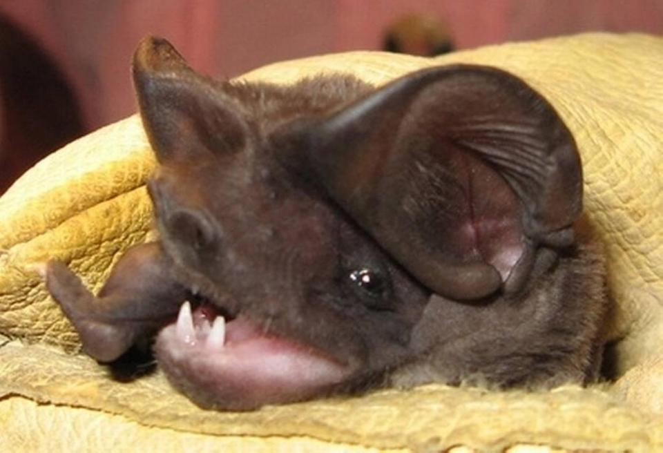 Florida's endangered bonneted bats live in pine rockland, a disappearing forest that once covered much of South Florida's high ground but has now dwindled to about 2 percent of its historic range. It is one of 13 species of bat that calls Florida home.