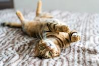 "<p>Descended from domestic cats, the Egyptian Mau, and Asian leopard cats, the <a href=""https://www.dailypaws.com/cats-kittens/cat-breeds/bengal"" rel=""nofollow noopener"" target=""_blank"" data-ylk=""slk:Bengal"" class=""link rapid-noclick-resp"">Bengal</a> makes a playful pet. Although wild in looks—for their boldly spotted and marbled coats—they're gregarious, can be taught tricks, and will join you in a leashed walk outdoors.</p>"