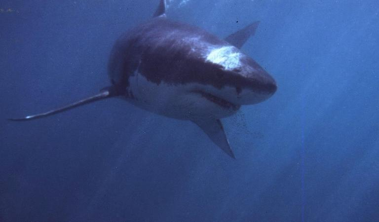 An undated photo of a Great white shark, pictured off Gansbaai, about 165 km from Cape Town. Great white sharks, the world's largest predatory fish, eat three to four times more food than previously thought, an Australian study shows