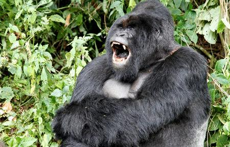 FILE PHOTO: An endangered silverback mountain gorilla yawns in Virunga National Park in eastern Democratic Republic of Congo, May 3, 2014.  REUTERS/Kenny Katombe/File Photo