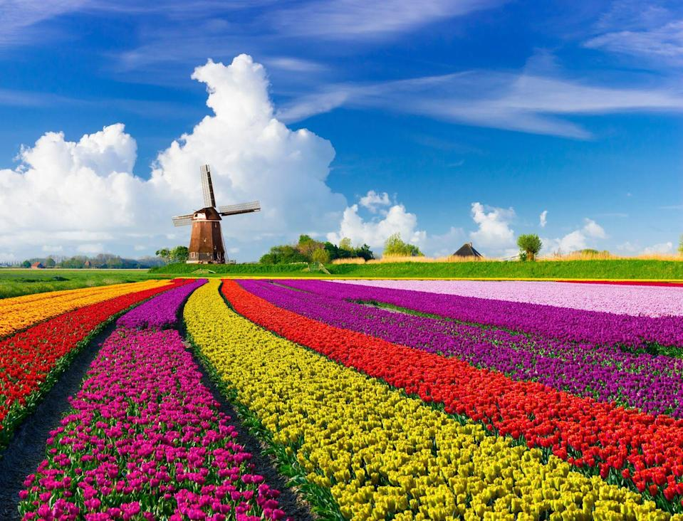 <p>These bright tulip fields make you want to go chase a windmill.</p>