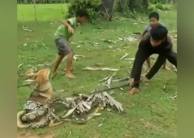 Boys in China fight off boa constrictor snake to save dog