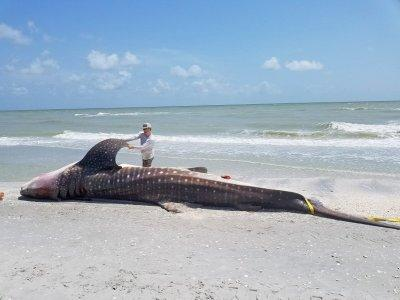 FILE PHOTO: A dead whale shark is examined after being washed up along the shore of Sanibel Island, Florida, U.S., in this photo taken July 22, 2018. Courtesy of Florida Fish and Wildlife Conservation Commission/Handout via REUTERS