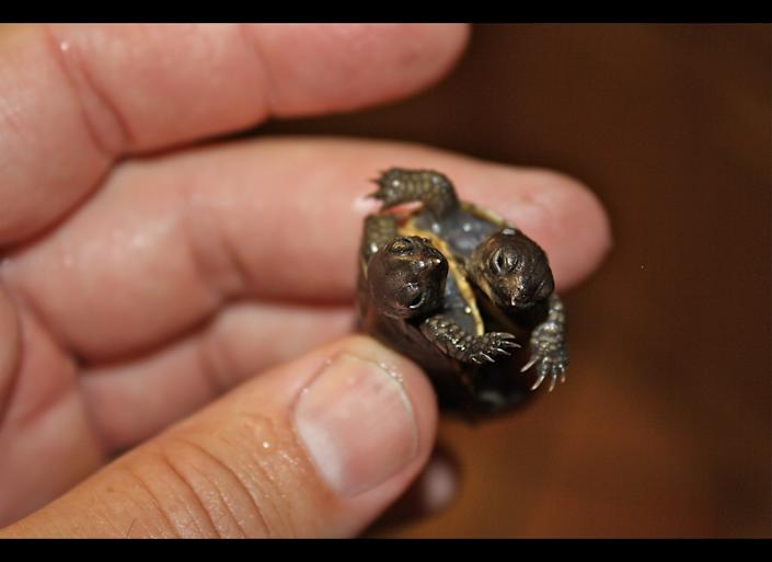 Todd Ray, who has what is believed to be the world's largest collection of two-headed animals, is considering whether or not he should surgically separate this two-headed turtle.