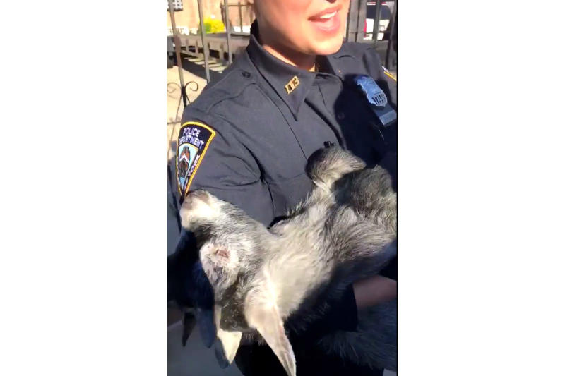 In this April 24, 2019 image made from video provided by the NYPD, a New York City police officer holds a pygmy goat after it was found wandering around a backyard in the Queens borough of New York. Police brought the goat to a city animal shelter and it will be brought to the Skylands Sanctuary and Rescue in Wantage, N.J. (New York City Police Department via AP)