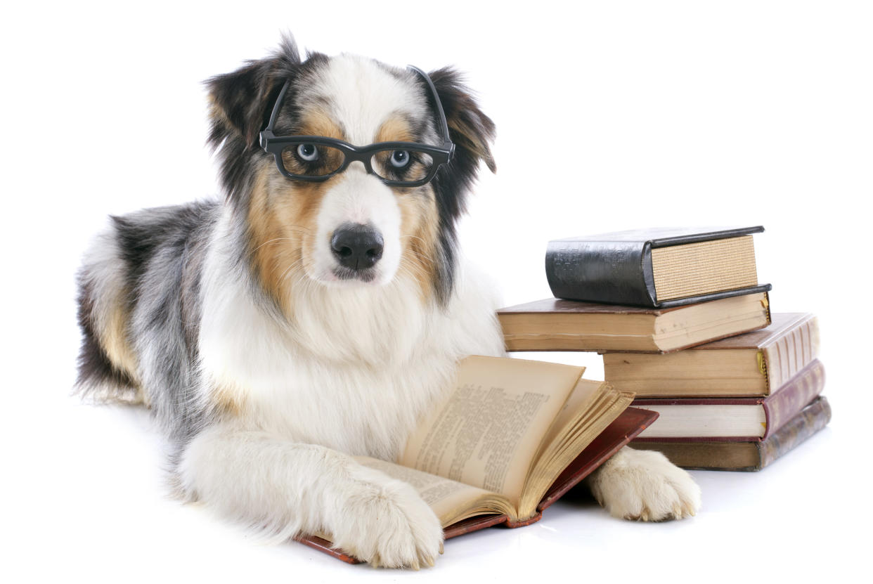 purebred australian shepherd  and books in front of white background