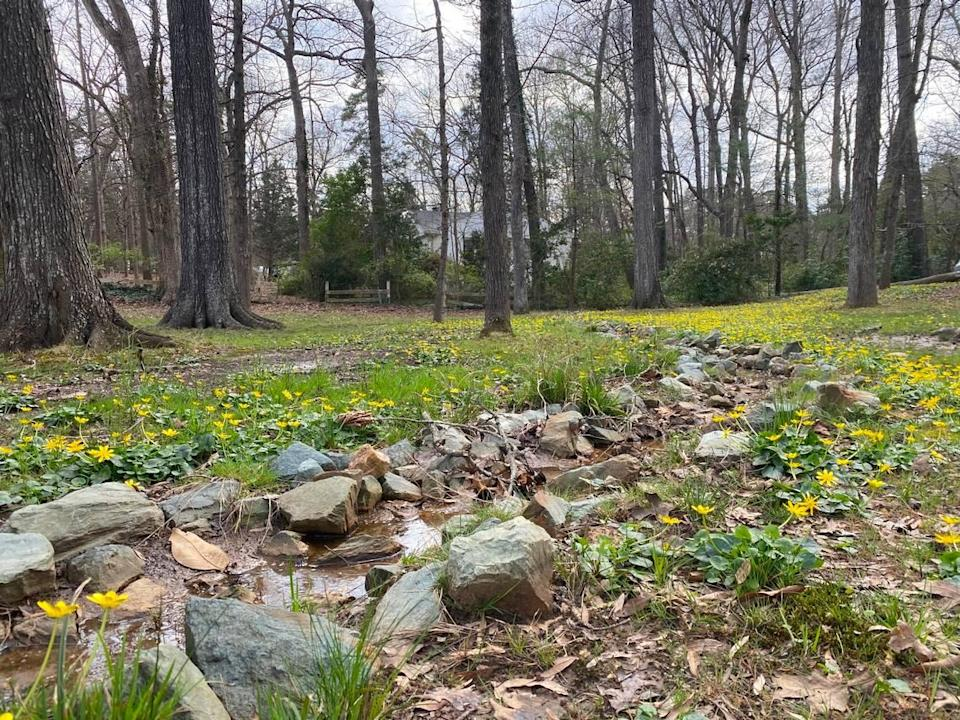 A shallow creek runs through the Hammers lawn and carries fig buttercup bulbils downstream.