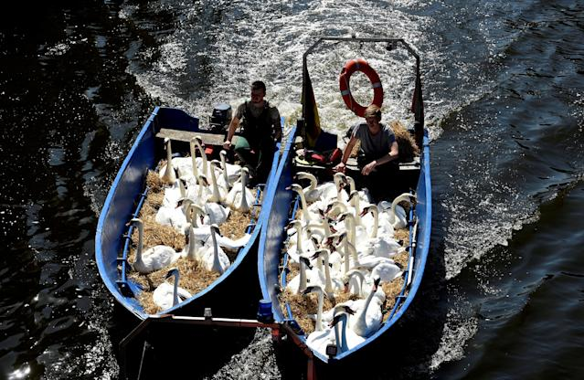 <p>Swans sit in boats as they were caught at Hamburg's inner city lake Alster, Aug. 7, 2018. Due to hot weather the swans are collected from waterways around the northern city of Hamburg, Germany, and taken to quarters where they usually spend the winter. (Photo: Fabian Bimmer/Reuters) </p>