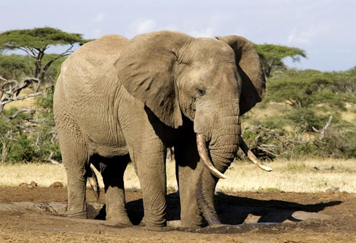 "An African elephant in the wild. <span class=""copyright"">(Mary Andersen)</span>"