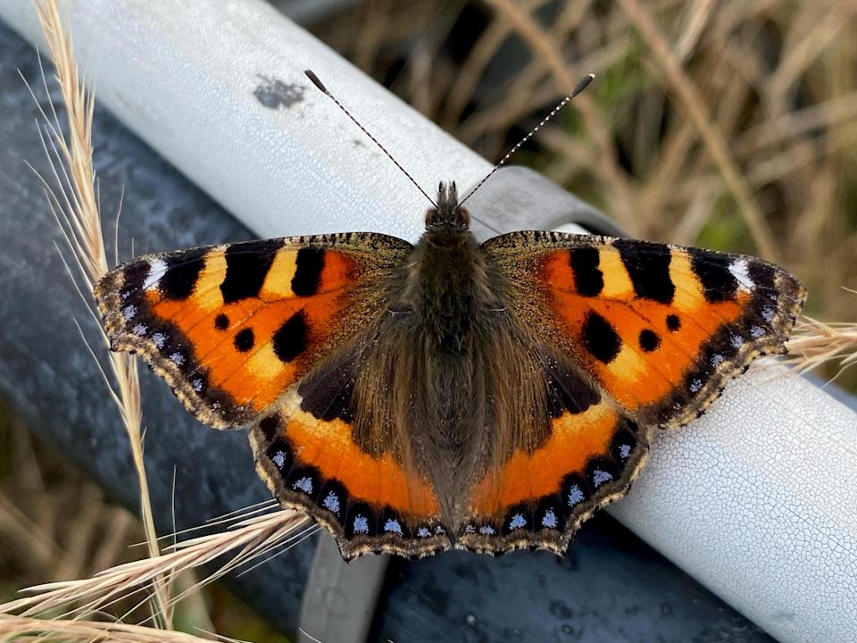 Tortoiseshell butterflies are one of many insects found on Nomura's green roof (Mark Patterson)