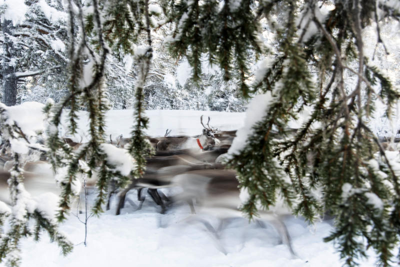 In this Tuesday, Nov. 26, 2019 photo, running reindeer, outside of Jokkmokk, Tuesday November 26, 2019. Global warming is threatening reindeer herding in Sweden's arctic region as unusual weather patterns jeopardize the migrating animals' grazing grounds. (AP Photo/Malin Moberg)