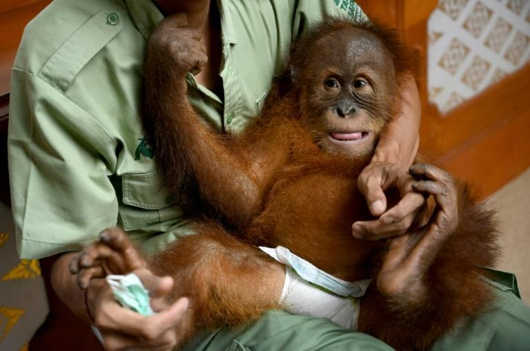 A keeper holds baby orangutan Bon Bon as he prepares to be sent to Sumatra to be released back into the wild (AFP Photo/SONNY TUMBELAKA)