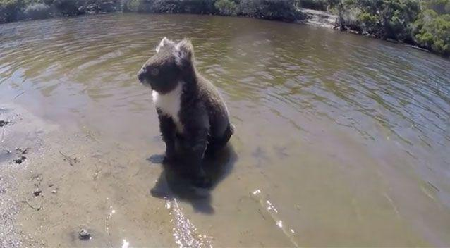 Have you ever seen a koala swim? Well, now you have! Source: Jas and Joes Long Road Home / Facebook